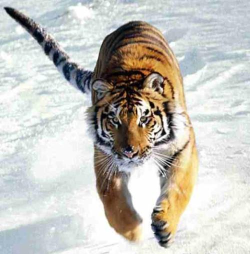 雪の上を走る虎